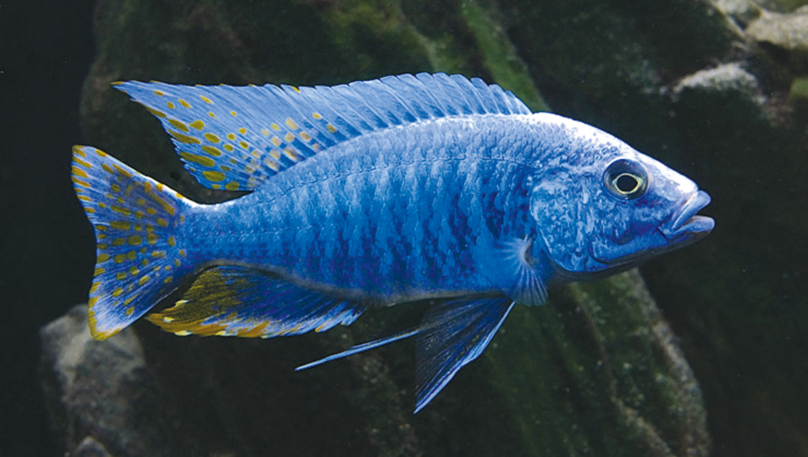 electric blue african cichlid - photo #2