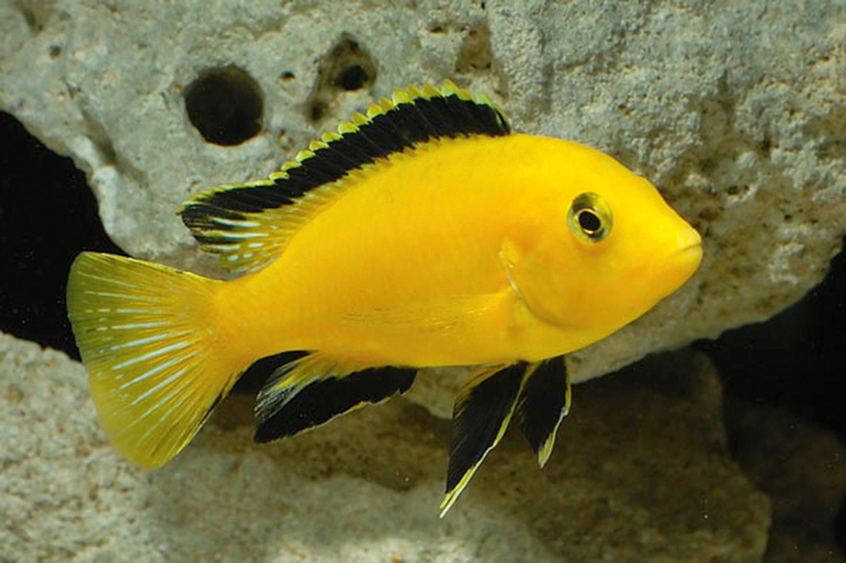 yellow cichlid fish - photo #5