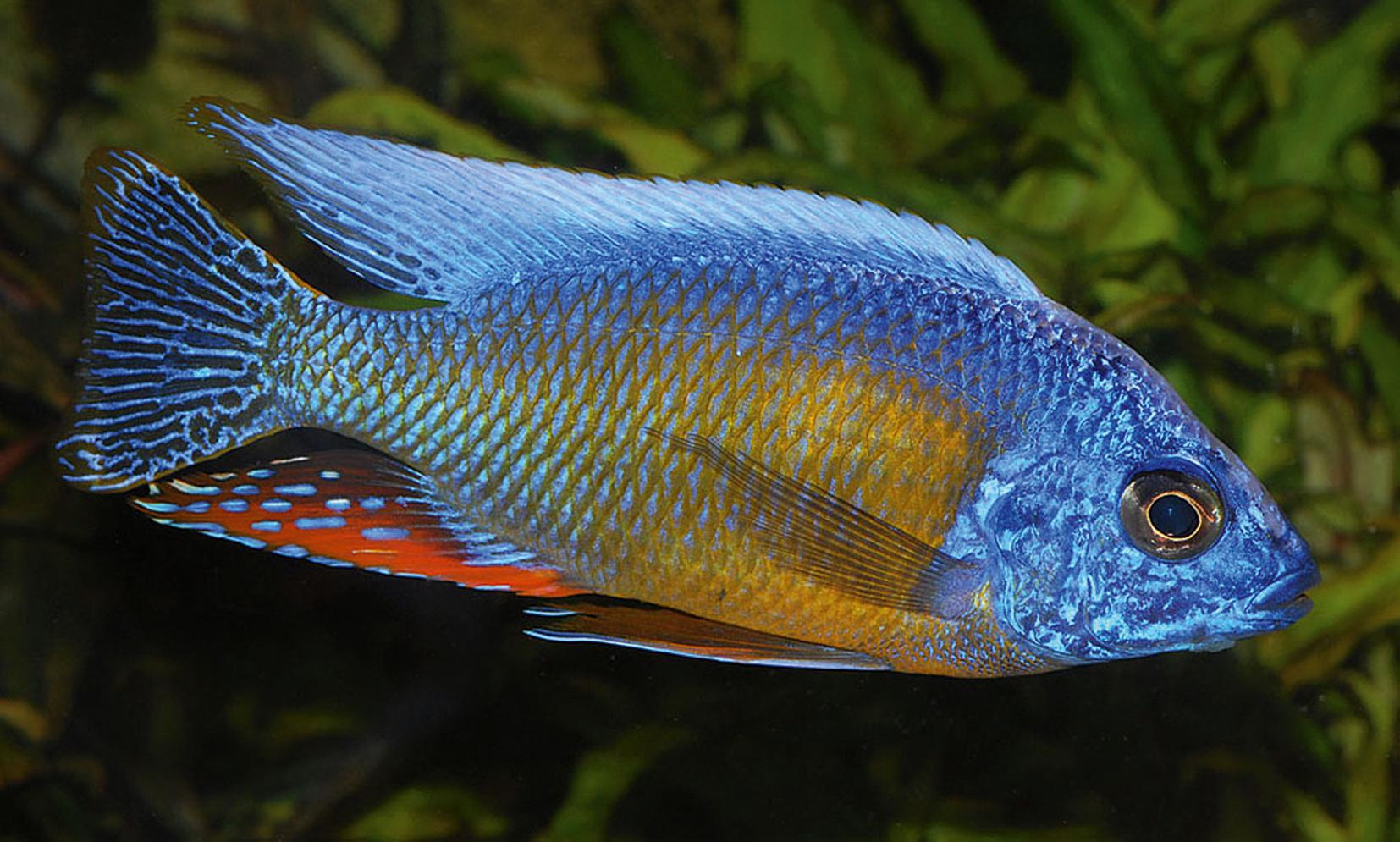 African Cichlids Digital